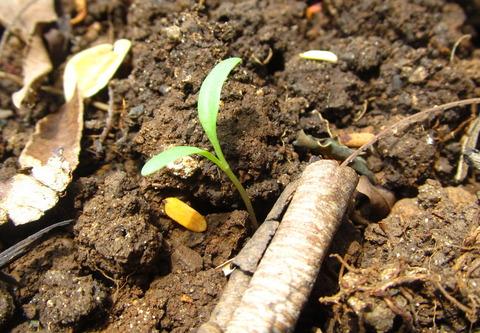 Silverbeet (Swiss Chard) seedlings
